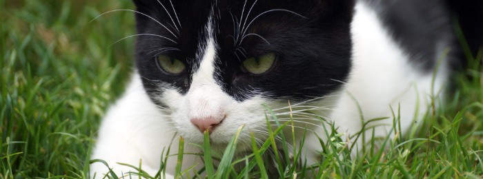 Black and white cat playing in the grass